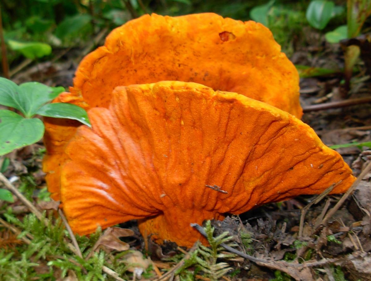 Champignon crabe   Filière mycologique de la Mauricie cf65a2885e21
