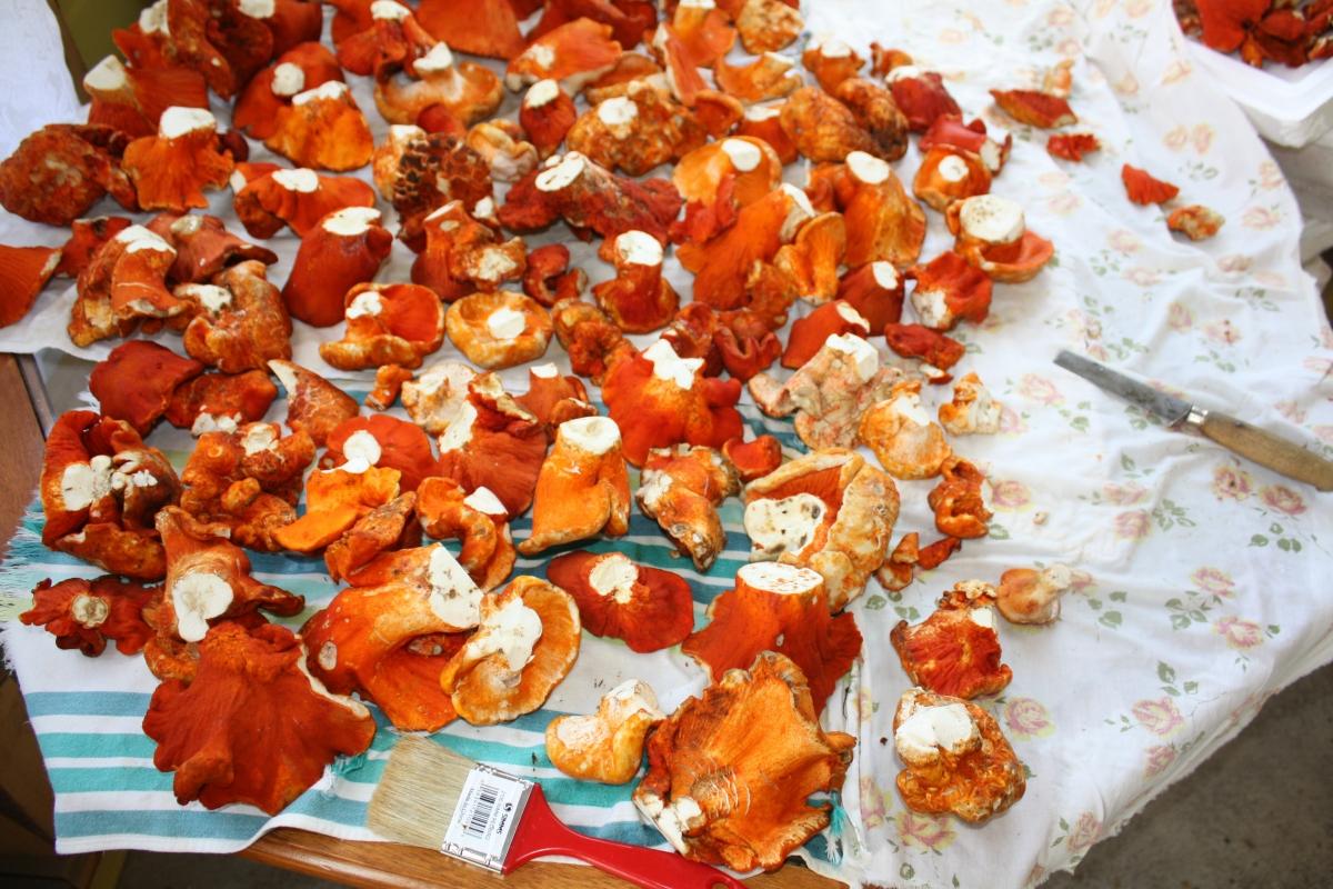 brand new 3d0c2 2f6d1 Champignon crabe   Filière mycologique de la Mauricie